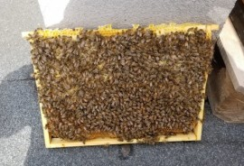Pszczoły mieszkające na hotelowym dachu.