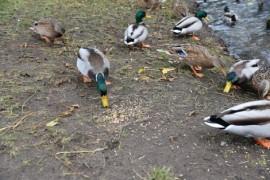 Kaczki jedzące ziarno z ptasiego bufetu