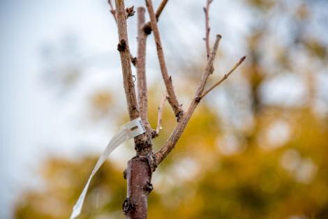 Jedna z zasadzonych w parku Żelewskiego wiśni piłkowanych Kanzan