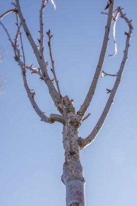 Zasadzone drzewo